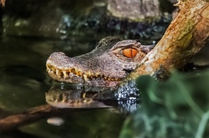 crocodile-681273_1280